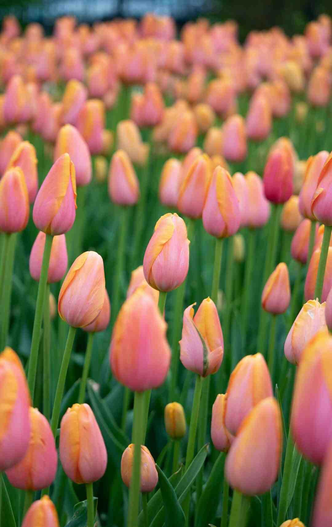 Comment conserver les bulbes de tulipe