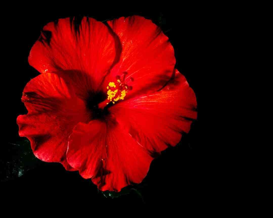 Comment cultiver un hibiscus à l'extérieur
