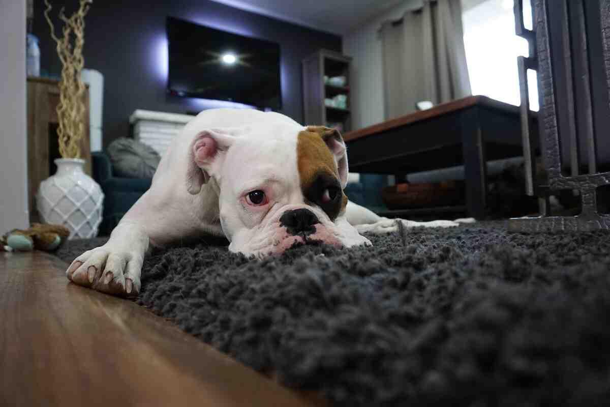Comment éliminer l'odeur de chien d'un tapis