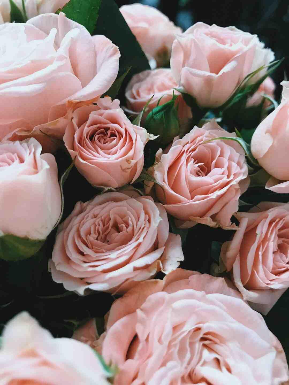 Comment faire pousser des roses trémières