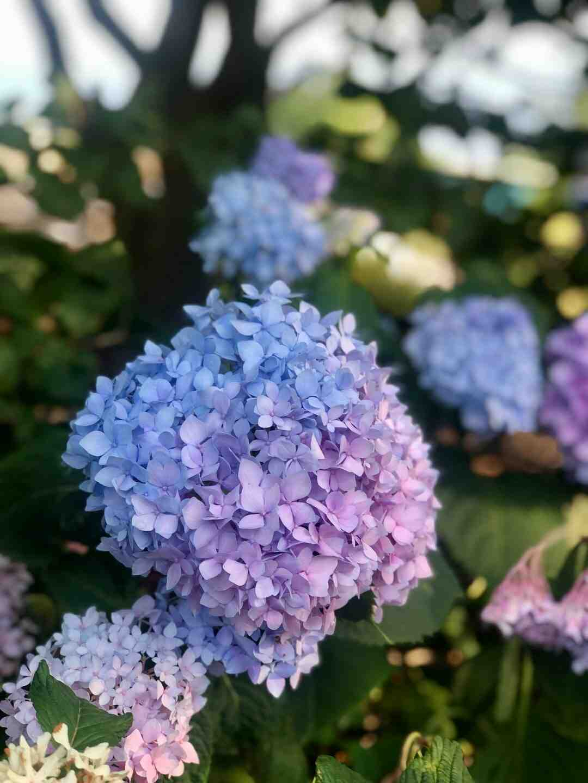 Comment planter les hortensia en pleine terre ?